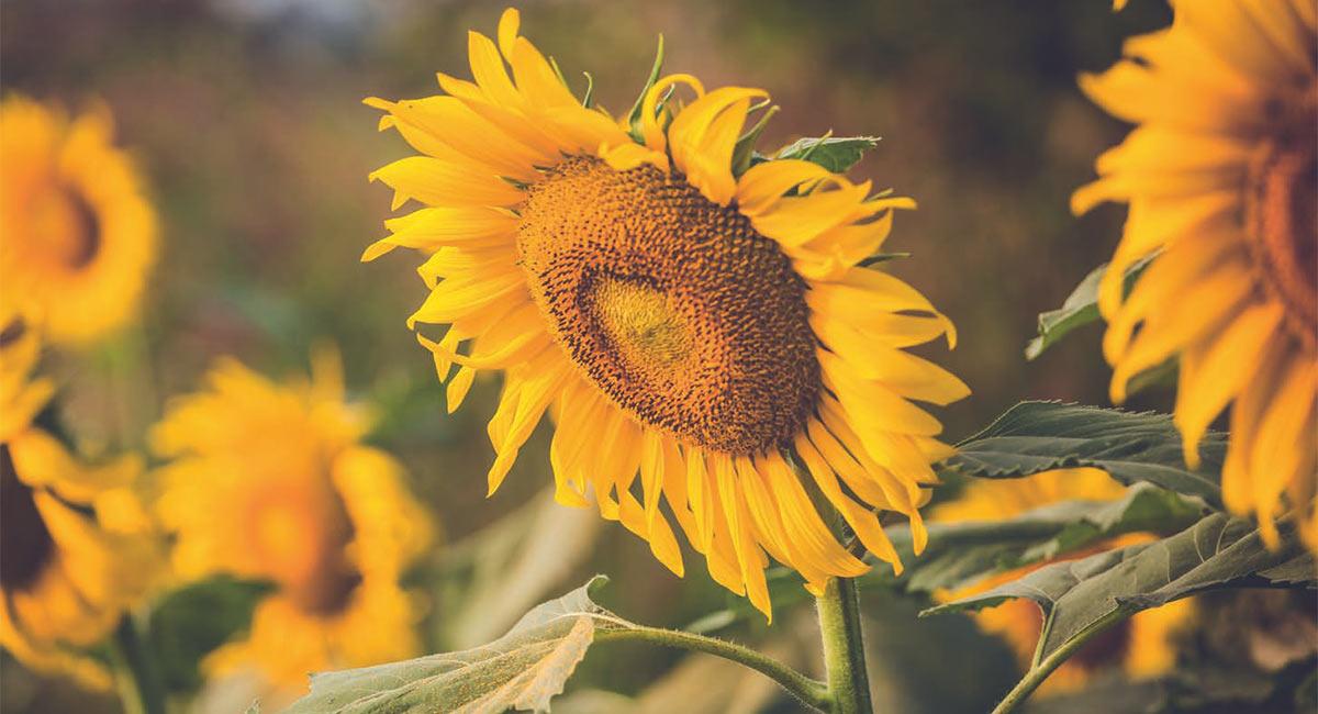 Productos fitosanitarios preguntas y respuestas syngenta for Hierbas ornamentales